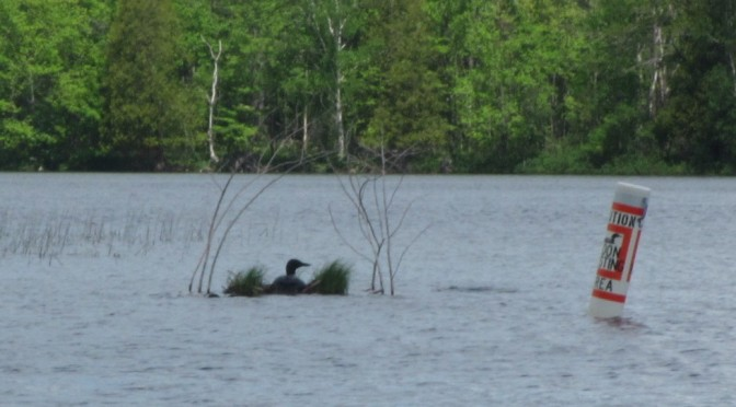 picture 2016 loons on nest
